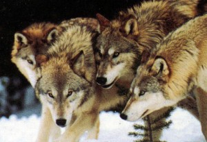 Pack-of-Wolves-300x207
